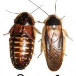 Argentin csótány (Blaptica dubia) pár. Balra a nőstény, jobbra a hím látható. Rovartenyésztés céljára ideálisak.