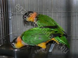 Feketesapkás papagájok (Pionites melanocephalus)