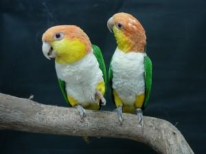 Rozsdássapkás papagájok (Pionites leucogaster)