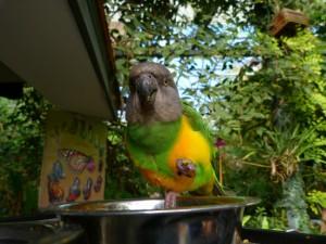 Szenegáli papagáj (Poicephalus senegalus)