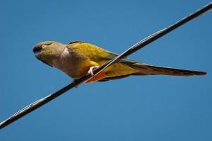 Szikla vagy más néven üregi papagáj (Cyanoliseus patagonus)