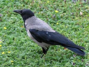 Szürkevarjú, másnéven dolmányos varjú (Corvus cornix)