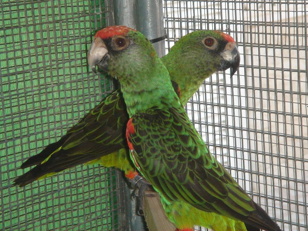 Kongó papagáj