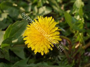 Pitypang (Taraxacum officinale)