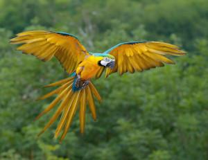 Sárga-kék ara (Ara ararauna)
